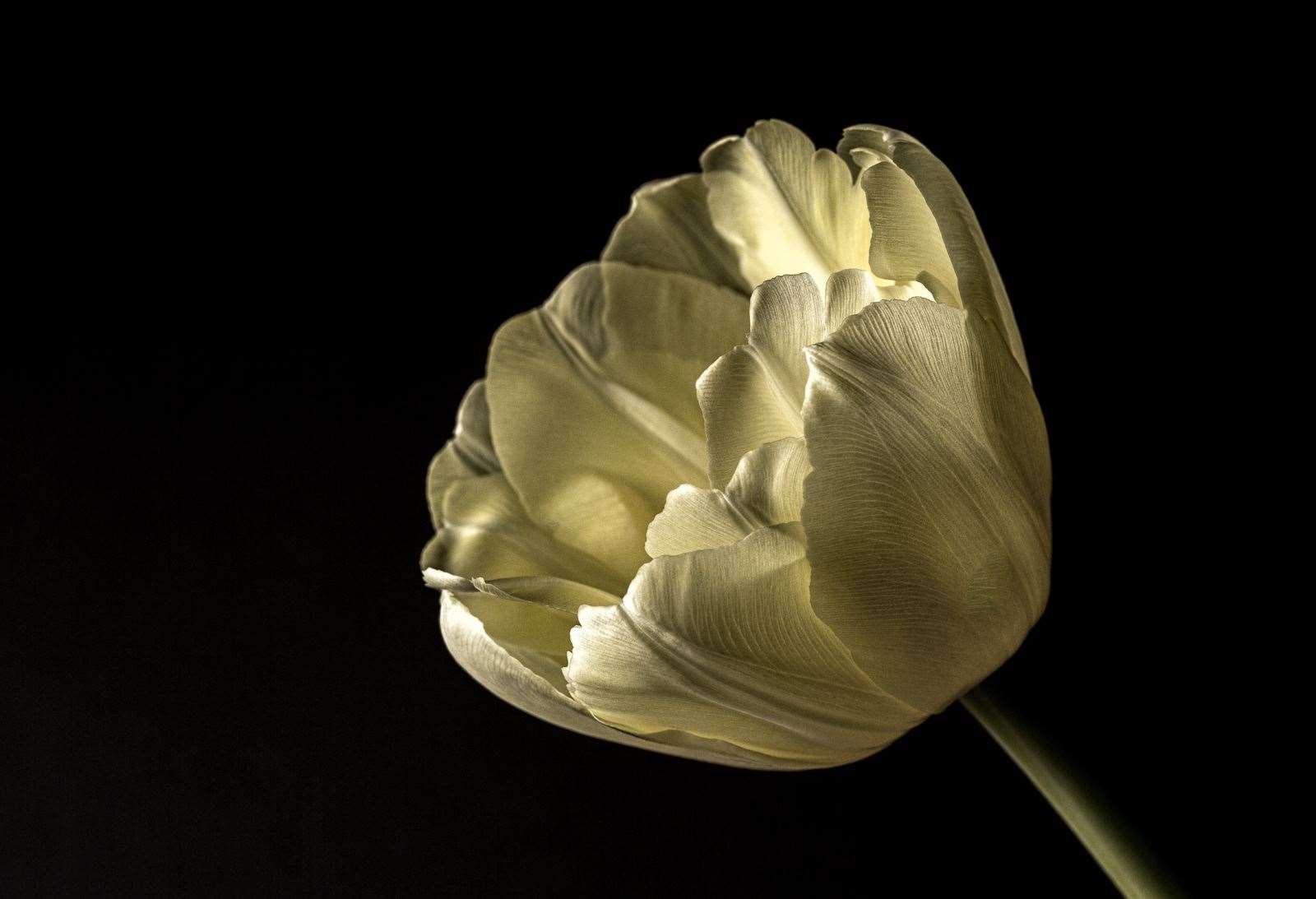 Tulip – Andrew Endean