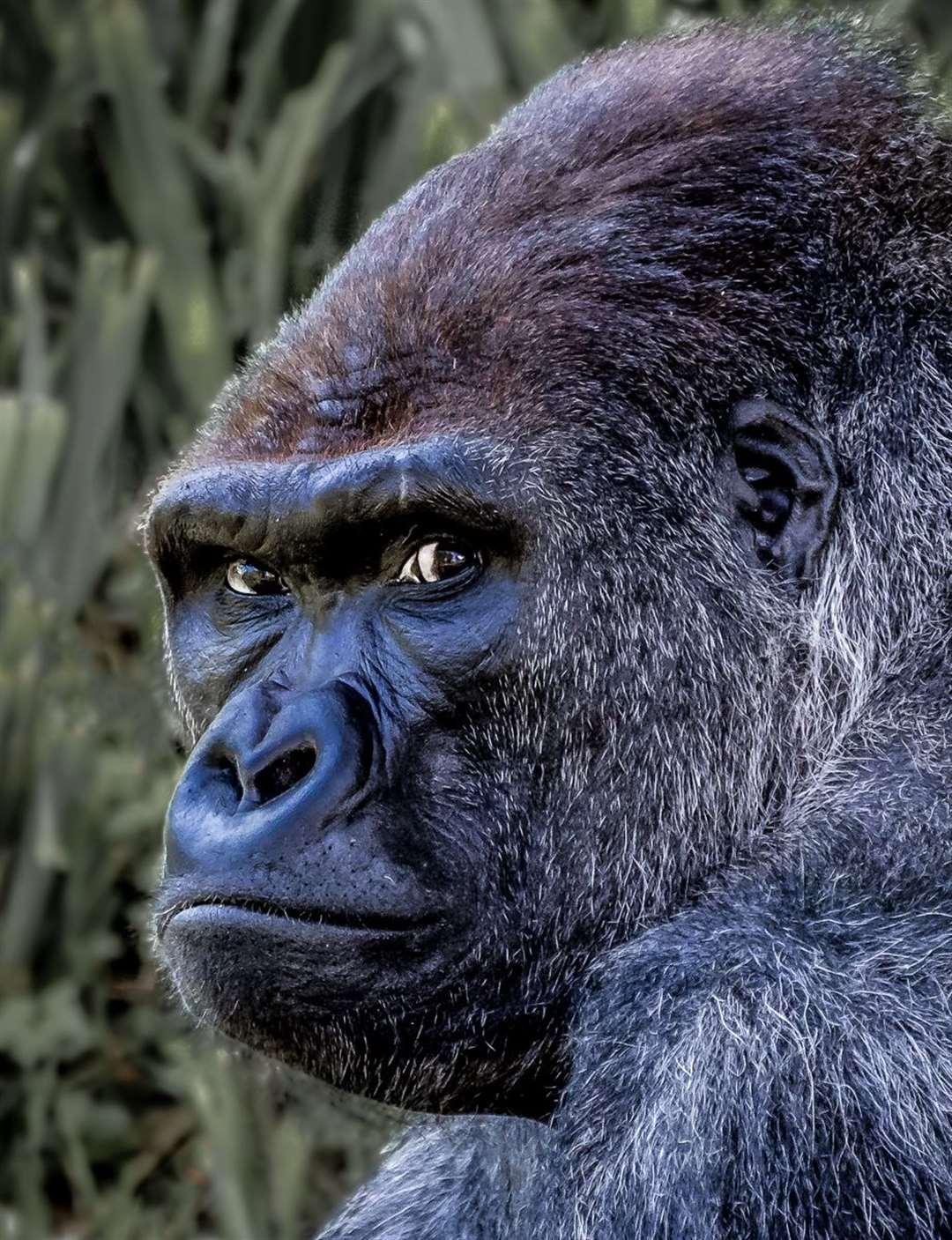 Lowland Gorilla- Rob Carpenter