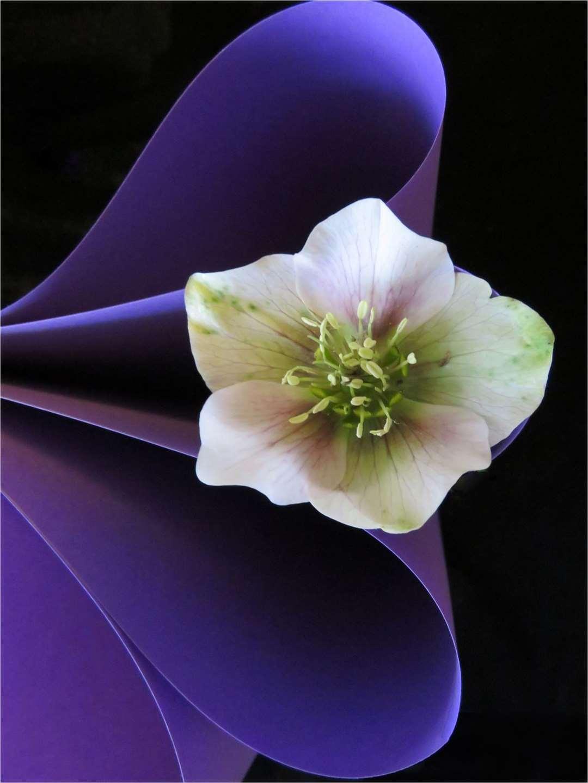 Purple hellebore - Karen Reeve