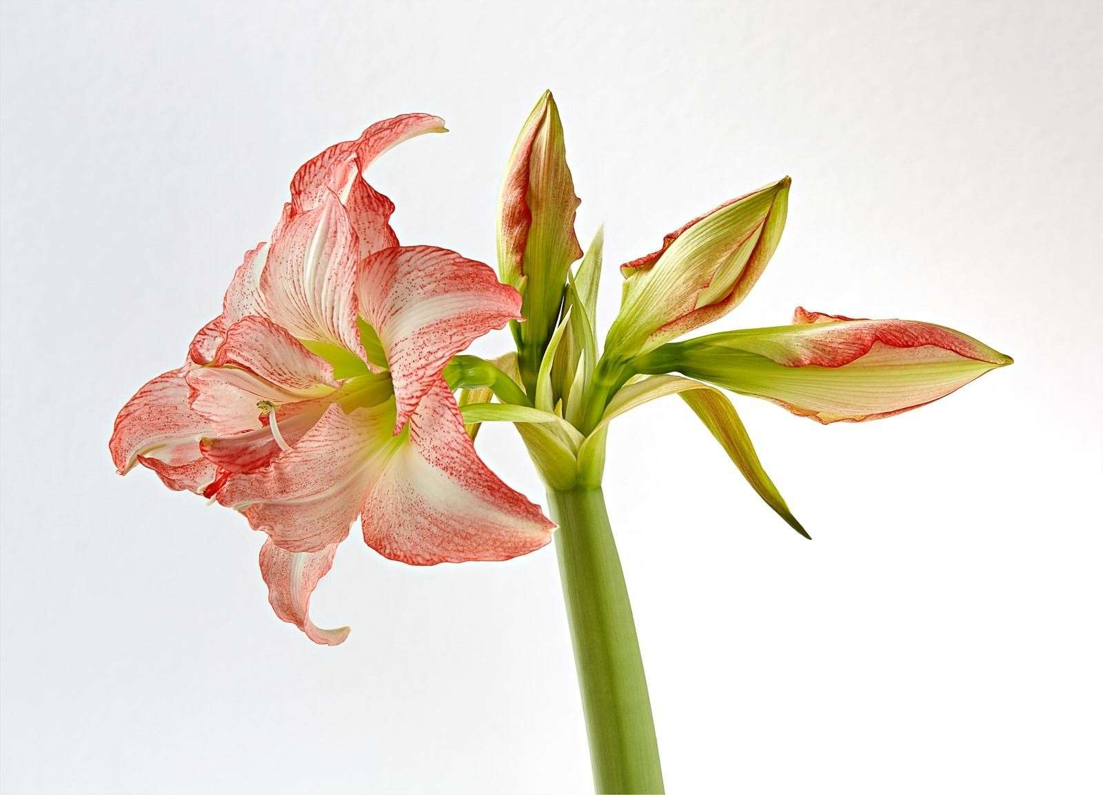 Amaryllis – Richard Pike